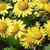 Chrysantellum americanum 100x100 - Kekereke Obesity/Weight Loss